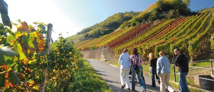 Goldener Herbst: Mit Freunden auf dem Rotweinwanderweg.